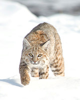Yellowstone Bobcats
