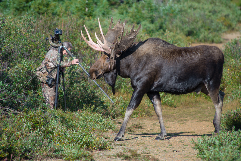 Bull Moose and Photographer