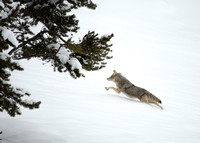 Coyote Leaping Through Snow